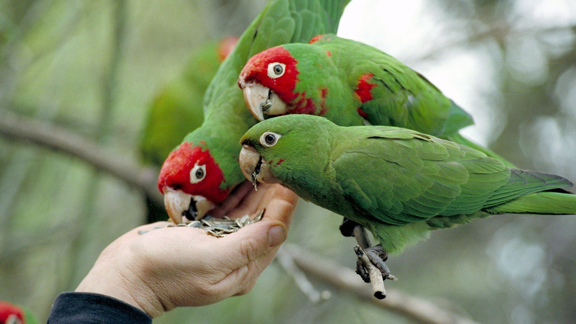 The Wild Parrots of Telegraph Hill (Documentary FlLM 2003) Vil tanty