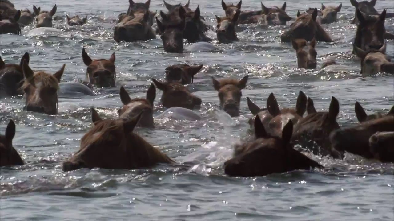The Wild Ponies of Chincoteague  trailer